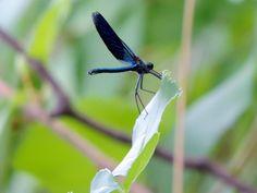 Dark blue dragonfly by Remo Fiebig on 500px