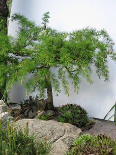 Modřín jako bonsaj hezky doplňují netřesky.