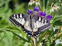 Ritariperhonen, Papilio machaon - Perhoset - LuontoPortti