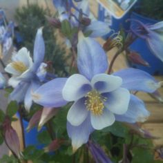Blue Columbine @ English Gardens