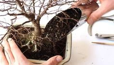 "Bonsai trees were created by the Chinese almost two thousand years ago when they intentionally ""shrunk"" a full-sized tree by methodically trimming it's branches and roots. The Bonsai tree is said to be a very powerful meditation tool, as it is commonly worshipped, and is thought to bring peace and calming to areas of the"