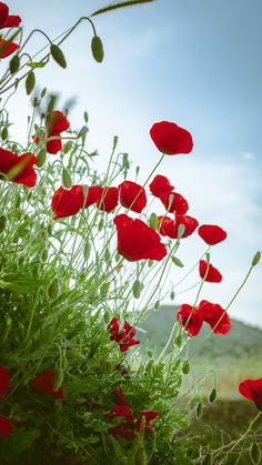 Find images and videos about nature, flowers and sky on We Heart It - the app to get lost in what you love. Vintage Flowers Wallpaper, Flower Phone Wallpaper, Nature Wallpaper, Cellphone Wallpaper, Wallpaper Backgrounds, Red Flowers, Beautiful Flowers, Flower Pictures, Red Poppies