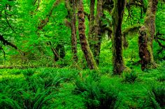 Hall of Mosses in Olympic National Park by Craig Wennersten