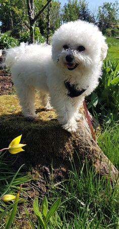Diva in the garden a nice summer day Bichon Frise, Happy Dogs, Summer Days, Norway, Diva, Garden, Photos, Travel, Animals