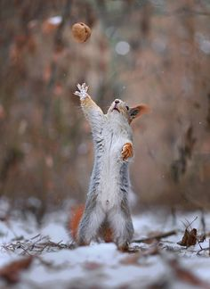 ~~goalkeeper • squirrel reaching for a nut • by Vadim Trunov~~ Ohmy!