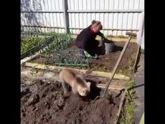 Only in Russia: Bear cub helps plant potatoes in Russia