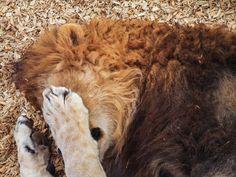 Leeuwen (broers?) Door jsutc ℓ fife op Flickr Op Colorado Wild Animal Sanctuary, www.wildanimalsanctuary.org/