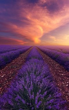 Lavender sunset, Valensole, Alpes-de-Haute-Provence, France by alexandreehrhard