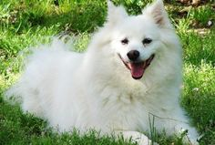 "Tessa style American Eskimo. The social, ""everyone is my friend"" dog."