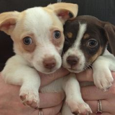 Adorable puppies successfully adopted from Los Angeles dog & cat rescue (and spaymobile provider), the Amanda Foundation.