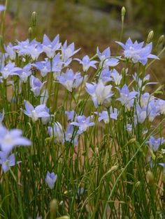 Wahlenbergia communis (Tufted Bluebell) – (h) x (w) Australian Native Garden, Australian Native Flowers, Australian Plants, Native Australians, Herbaceous Perennials, Hardy Plants, Landscaping Plants, All Plants, Native Plants
