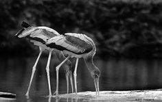 Stealing their colours - Birds of Ranganathittu Black And White Birds, Storks, Photo Storage, Flow, Confidence, Knowledge, Colours, Self Confidence, Facts