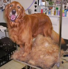 Golden Retriever Dog Grooming Architecture Modern Idea
