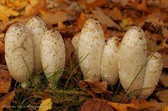 Czernidłak kołpakowaty - pospolity grzyb na groblach stawów - fot. Cezary Tajer © Stawy Milickie SA