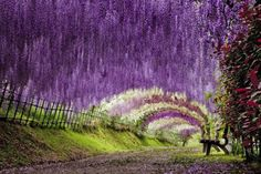 Wisteria Tunnel, Kawachi Fuji Gardens in Kitakyushu, Japan ( 5 hours from Tokyo, if you take the Nozomi high speed train). Best in late april to mid may, tourism in the edge Wisteria Tunnel Japan, Wisteria Garden, Wisteria Plant, Purple Wisteria, Purple Garden, Fuji, Wisteria Sinensis, Tokyo, Nature Sauvage