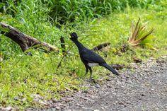 Costa Rica Birds Great Curassow Arenal Birdwatching