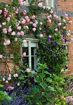 'Caroline Testout' - a repeat flowering climbing rose