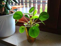 Conseils de culture et d'entretien du Pilea peperomioides, une petite plante succulente très décorative en intérieur.