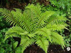 Polystichum polyblepharum - wintergroene varen - schaduw/halfschaduw - 50-70cm