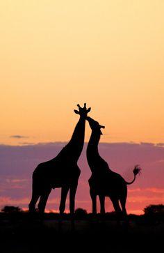 drxgonfly: Giraffe kiss (by Mike Kendrick)