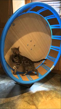 This cat exercise wheel is perfect for any cats but especially for bengals! Homemade, under 100 dollars and it works perfect! Like and comment if you enjoyed...