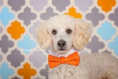 Arthur 3120Age: 4yrs old Sex/Altered: Male / Neutered Weight: 14lbs Breed: Poodle Mix Foster Home Location: PICKERING, ON Adoption Fee: $400.00 Temperament: Very Loving, gentle and playful