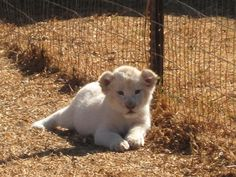 DEMAND PROTECTION! White lions are in danger of extinction due to habitat loss and trophy hunting. White lions are offered ZERO protection from the government. Urge the South African government to STOP THE SLAUGHTER OF WHITE LIONS!  Plz Sign and Share Widely!