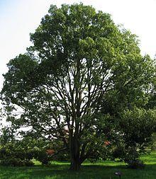 Chêne à feuille de myrsine - Arboretum de la Vallée aux Loups (ancienne demeure de Chateaubriant) Ile de France - classé arbre remarquable de france
