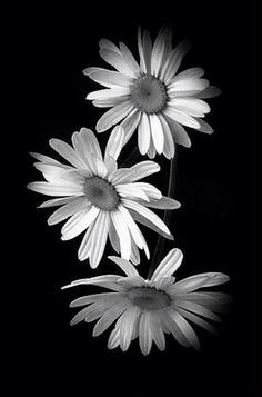 Daisy- yellow or colorless Happy Flowers, Flowers Nature, My Flower, Pretty Flowers, White Flowers, Flower Art, Sunflowers And Daisies, Yellow Daisies, Daisy Love