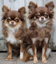 Fantastic Totally Free dogs and puppies chihuahua Concepts Complete you love your pet dog? Proper pet care in addition to teaching will you and the p Chihuahua Love, Chihuahua Puppies, Cute Puppies, Dogs And Puppies, Pet Dogs, Dog Cat, Doggies, Long Haired Chihuahua, Love Your Pet