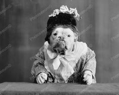 Bulldog Dressed As Lady 1905 Vintage 8x10 Reprint Of Old Photo