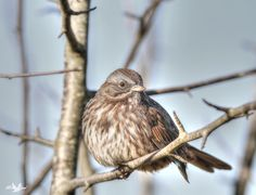 sweet little <b>Song Sparrow</b>. This guy was very photogenic and I got a ...