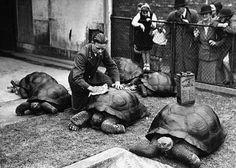 Polishing Tortoise at London Zoo