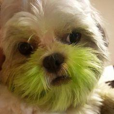 Será que eu fiz arte?  #Tunico #Tuco #Tutuquinho #Dog #DogLovers #Shitzu #Shihtzu #ShihtzuLovers #Cachorro #Cachorrinho #Pet #Pets #ILoveMyPet #Peludinho #TunicoDoPapai #TunicoDaMamae #Macho #CachorroMacho #Fofo #Fofinho #Fofura #Fofuras #EuNãoSouCachorroNão #InstaDog #SemVergonha #SemFiltro #Cão #Filhote #Filhotes #CãoDeRaça by tunicooficial