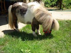 Dwarf Miniature Horses for Adoption | http://i299.photobucket.com/albums/mm307/lilchick011/leo002.jpg