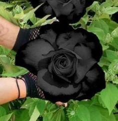 Black Garden, Cabbage, Vegetables, Rose, Flowers, Plants, Gardens, Pink, Cabbages