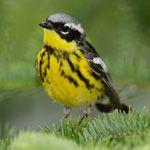 Bird song recordings
