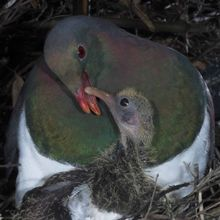 Kereru (Wood Pigeons) are only found in New Zealand, which means they are endemic. You can spot them in forests, parks, reserves and gardens all over New Zealand, but they are most common in the forests of Northland, the King Country, Nelson and the West Coast.