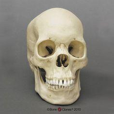 Human Female Asian Skull, Large (Replica)