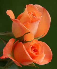 Beautiful Flowers Images, Flower Images, Flower Pictures, Beautiful Roses, Pretty Flowers, Purple Roses, Orange Flowers, Flower Wallpaper, My Flower