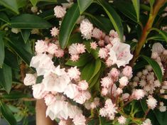 small shrub to with masses of flowers late spring/summer with spring loaded stamens that hit bees with pollen when they land in the flower. Likes a semi shaded location. Kalmia Latifolia, Canna Lily, Small Shrubs, Balcony Plants, Tall Plants, Petunias, Dwarf, Bees
