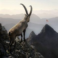 MURAT SAYGINER   Animals - Goat