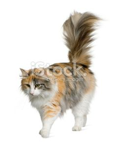 129453c1f7 Side view of Norwegian Forest Cat