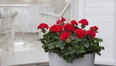 Disse 7 plantene tåler fint å stå i skyggen | Stelletips fra Mester Grønn Garden, Plants, House, Terrace, Home, Garten, Flora, Haus, Plant