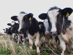 Curiosity Young calves in Nailsworth, Gloucestershire
