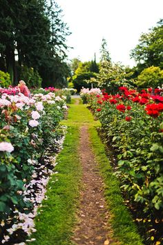 Portland is known as Rose City or the City of Roses, but why is it called that? We give you a brief history and show you the best rose gardens in Portland. Oregon Travel, Travel Usa, Portland Activities, Rose Garden Portland, Secret Garden Book, Visit Oregon, Crater Lake National Park, Port Angeles, Rose City