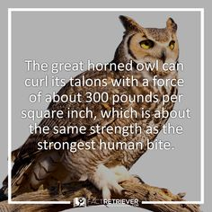 Owl talons are extraordinarily specialized hunting tools Owl Facts, Animal Facts, Spirit Animal Totem, Animal Totems, Weird Facts, Strange Facts, Random Facts, Owl Information, Owl Talons