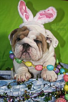 """Easter Bunny Dog - I'm torn between """"Awwww"""" and """"Oh, the poor thing."""""""