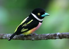 Black-and-yellow broadbill The black-and-yellow broadbill is a species of bird in the Eurylaimidae family. It is found in Brunei, Indonesia, Malaysia, Myanmar, Singapore, and Thailand. Wikipedia Scientific name: Eurylaimus ochromalus Rank: Species Higher classification: Eurylaimus