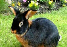 Conejo de raza Tan. Mezcla de conejos silvestres y holandeses en el sXIX